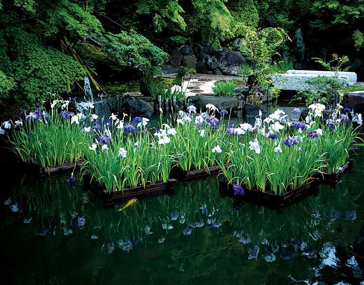 鎌倉の長谷寺を散策。とくに紫陽花が有名だが、境内の庭園の池に浮かぶ花菖蒲の「花いかだ」もまた、美しい。