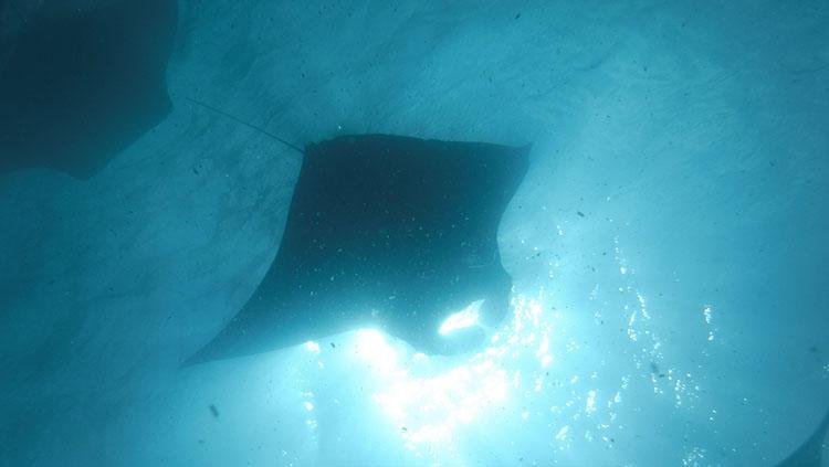 潜って下からマンタを仰ぎ見る。