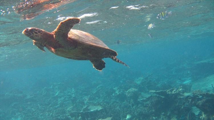 運がよければウミガメにも会える。カメは意外と速く泳ぐはホント。