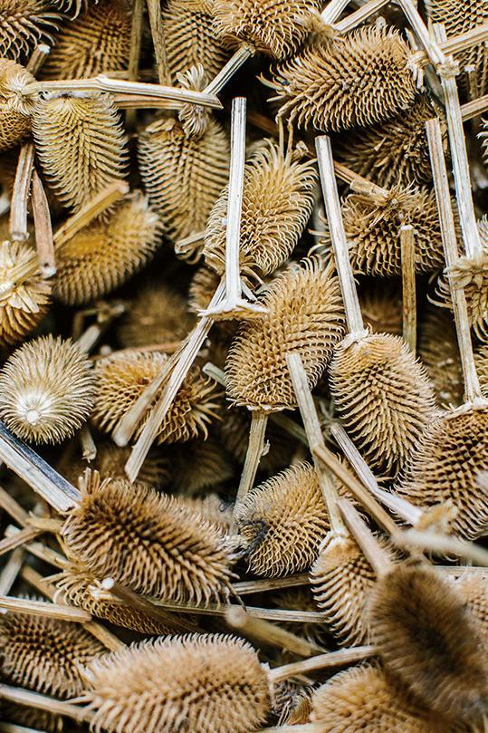 これが、天然のアザミの実の棘。イタリアで採取されている。