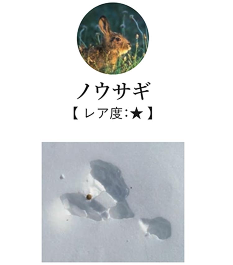 <p>雪原でよく出会う足跡。Y字形に見えるのが特徴で、奥に二つ大きく広がるのが後足だ。低山、高山を問わず日本全国に広く生息し、スキー場で足跡を見つける人も多い。</p>
