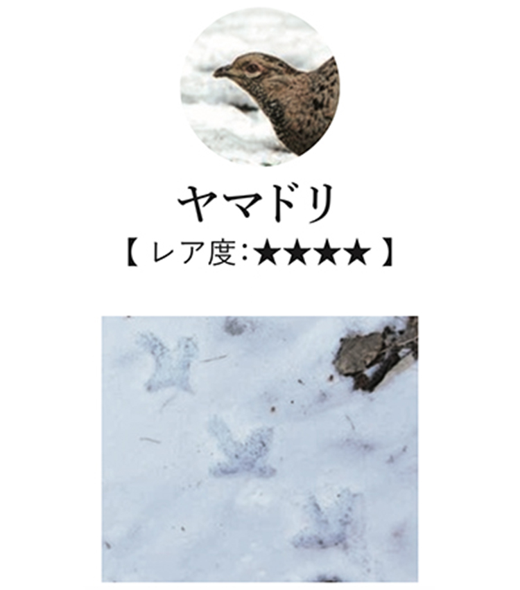 <p>日本固有の鳥で、海外のバードウォッチャー憧れの的。暗い沢沿いの山林を好んで暮らしているが、積雪の時期には開けた林道にも足跡をつけることがあるので要チェック。</p>