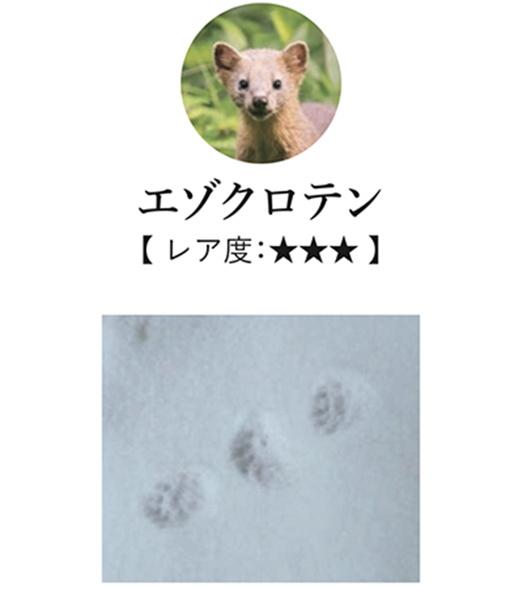 <p>北海道の森林にのみ生息し、見かけたらかなりラッキー。両足をきっちりそろえて跳躍するので、足跡は幅広くつく。木登りが得意なため、足跡は木の周囲に見つかるかも。</p>
